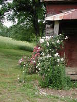 May_flowers_on_the_farm_19_