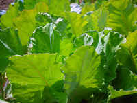 Cabbage-collards_lrg