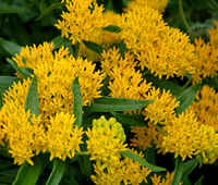Butterfly_weed_hello_yellow_seeds_asclepias_tuberosa__95329.1448221111.1280.1280