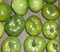 Tomatoe-green_-_copy