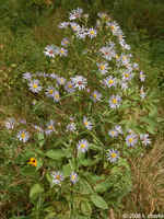 Purple-stem-aster_0905_150539