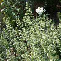 Calamintha-nepeta-glandulosa-white-cloud-northcreek_1